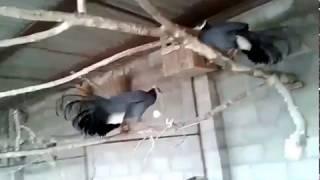 Синие ушастые фазаны. Питомник птиц Михаила Ивановича Пихули.