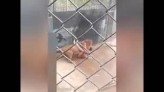 Leão devora homem