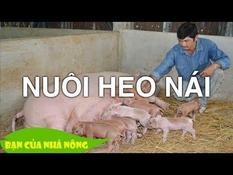 Kinh nghiệm quý báu trong việc Nuôi Heo Nái tại nhà / Bạn của nhà nông