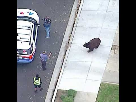 Large black bear roams streets of Monrovia, California | ABC News