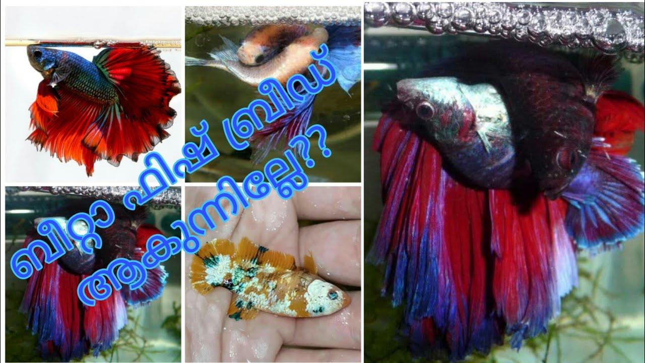 ബീറ്റാ ഫിഷ് ബ്രീഡ് ആകാത്തിരിക്കാനുള്ള കാരണങ്ങൾ|എന്തൊക്കെ ചെയ്യണം |How to breed betta  fish malayalam