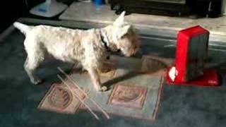 Barking Westie