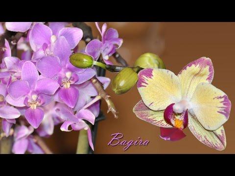 Орхидеи. Уход за цветами орхидеями,комнатное растение