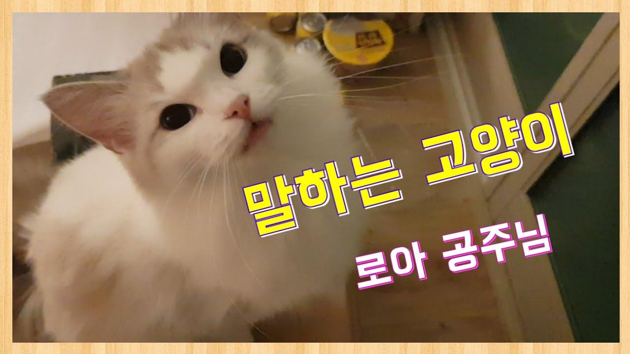 """말하는 고양이 (랙돌) 로아"""" 행복하다면 야옹해~🎵"""""""