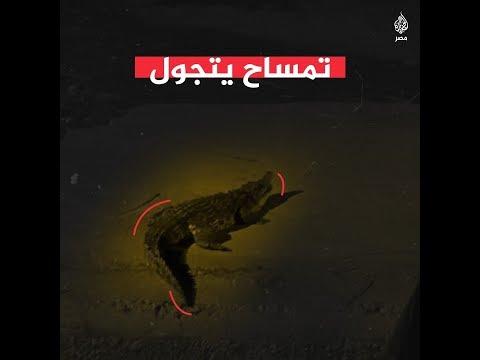 ???? تمساح بشوارع أكتوبر والأمن يضعه بقفص حديدي  - نشر قبل 2 ساعة
