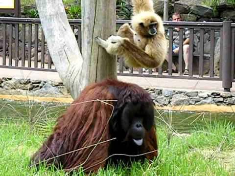 Pete the orangutang, getting angry at gibbon!:-)