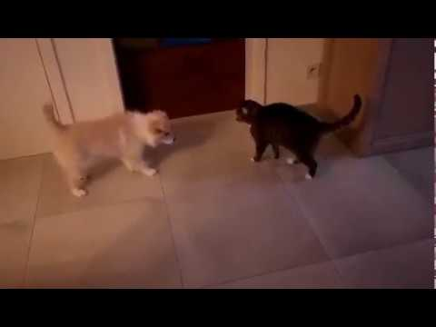 Cat attacks puppy Border collie toby