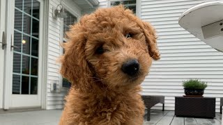 Goldendoodle puppy's first day home!