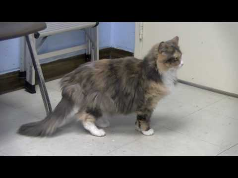 Adoptable Pet of the Week - Lucky the Calico Cat