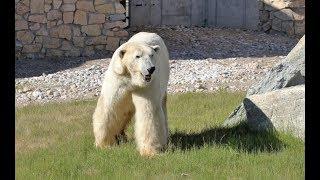 Из за хронической рaаны на лапе  В Эстонии усыпили подаренного Россией медведя