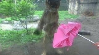 おもしろ動物動画 動物の王ライオンが巨大猫じゃらしに反応していて面白...