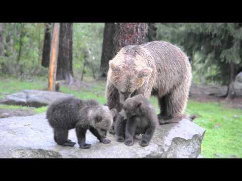 Brown Bear mother and cubs - Finland