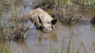 Cochon Corse qui travaille son apnée poumons vides