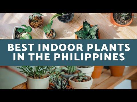 Best INDOOR PLANTS In the PHILIPPINES   TOP 10 INDOOR PLANTS