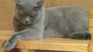 Британская кошка. Питомник Silvery Snow
