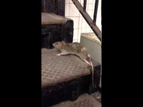 New york city RAT with a broken leg :((