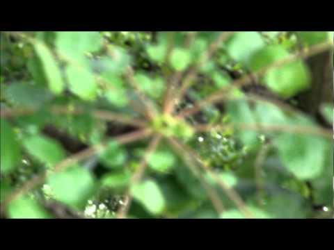 Arbol  hincha huevos (Comocladia engleriana Loes) - tetatlia, Colima, Col. México