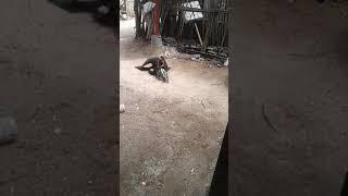Ayam vs bebek