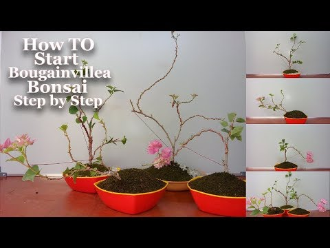 How To Start Bougainvillea Bonsai Step By Step Start Bougainvillea Bonsai Growing Tips Bonsai