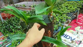 Hướng dẫn kỹ thuật ghép lan Đai Châu