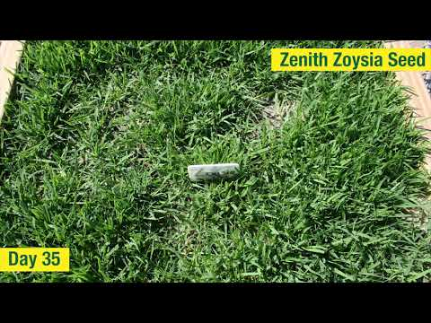 Zoysia Seed Time Lapse  - Growth In The First 51 Days