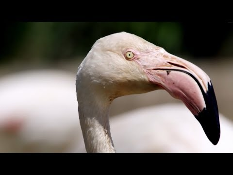 Flamingos Mating Rituals  Earth Unplugged