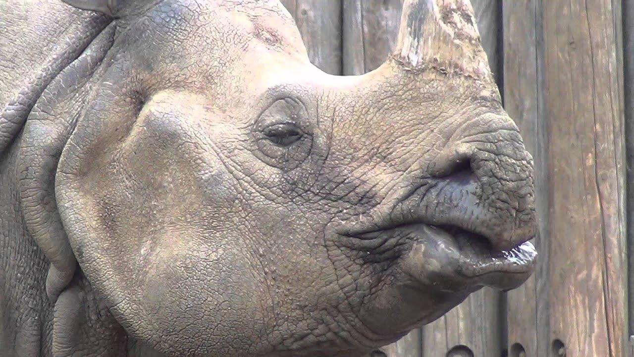 サイをじっくり観察 多摩動物公園 - YouTube
