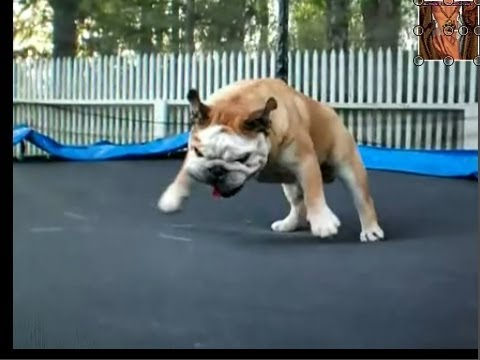 Can Dogs Jump On Trampolines
