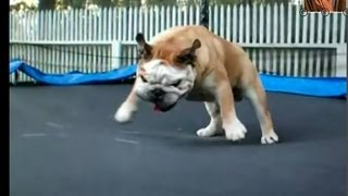 English Gymnastic Bulldog (jumping On The Trampoline, Mat)