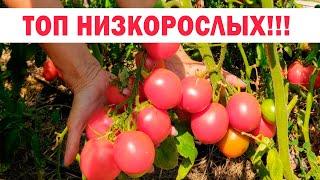 ТОП низкорослых томатов - обзор самых стойких сортов и гибридов сезона 2020