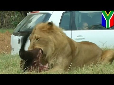 サファリパークで観光客がライオンにかまれ死亡 車の窓開け走行