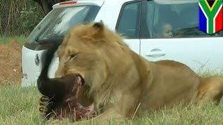 南アフリカのサファリパークで、観光客の米国人女性(22)が、走行中の...
