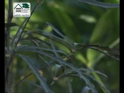 Plantas para interiores aralia cheflera aralia elegant sima palma rafis youtube - Plantas interiores ...