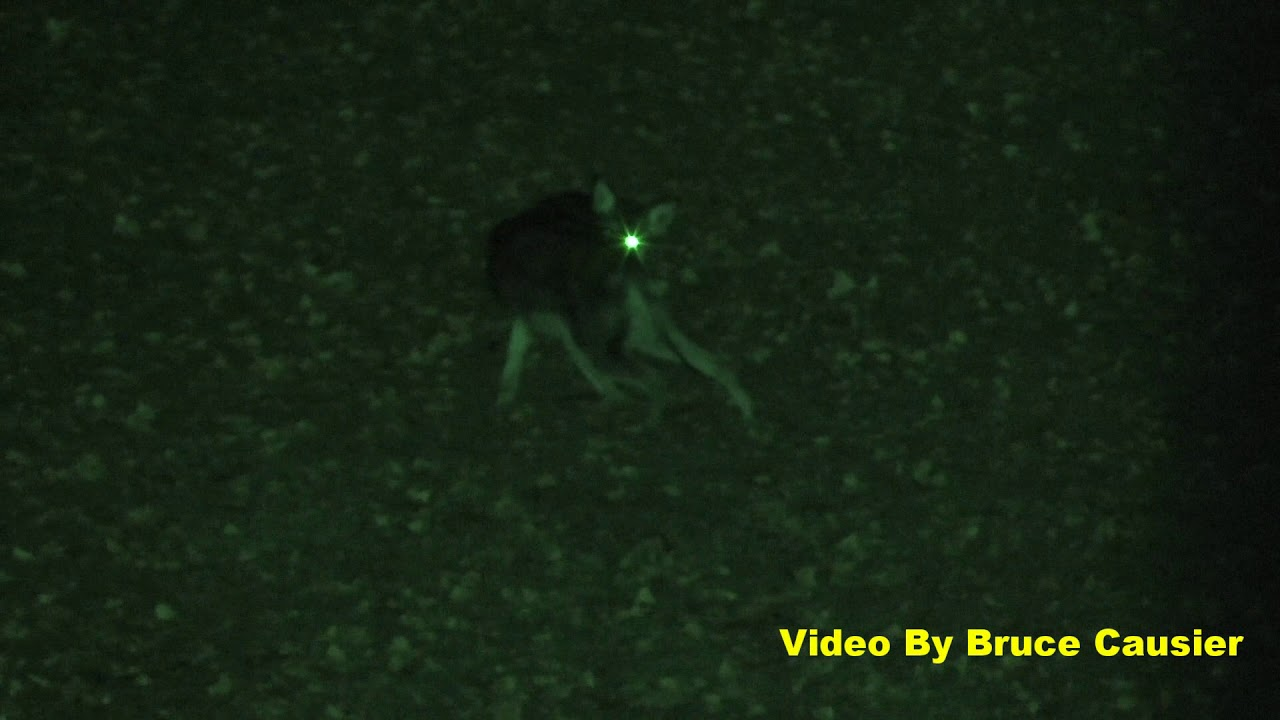 Coyote With Glowing Green Eyes - YouTube