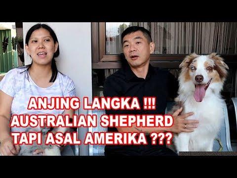 ANJING GEMBALA LANGKA DARI AMERIKA YANG LINCAH DAN PINTAR -AUSTRALIAN SHEPHERD DOG