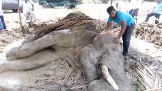 Injured Elephant Collapsed In Mud