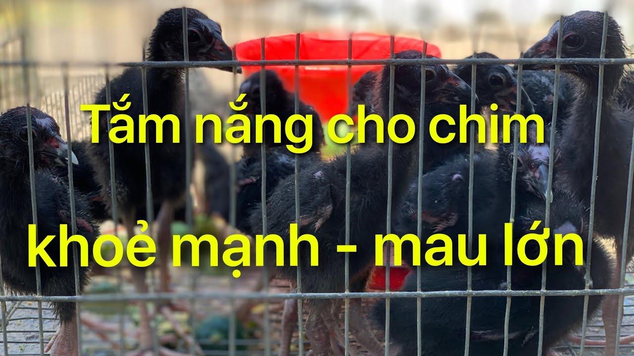 Tắm nắng cho chim Trích Cồ ,Quốc ,Cúm Núm,Choè Than