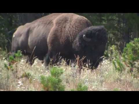 Bison bull in Yellowstone 4