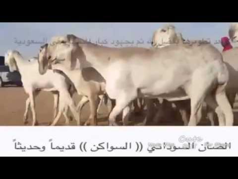 الضان السوداني ((السواكن))قديمآ وحديثآ - YouTube