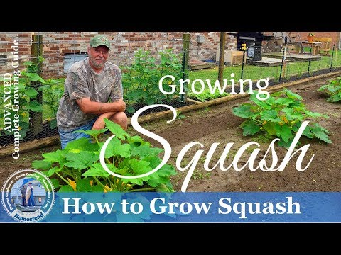 How To Grow Squash - Yellow Crookneck Squash And Zucchini Squash