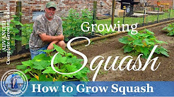 HD How To Grow Yellow Crookneck and Zucchini Squash