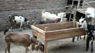 Goat Farm Pakistan