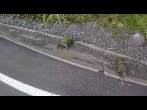Kea Parrot Bird of New Zealand