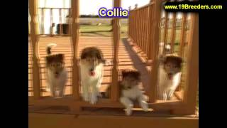 Collie, Puppies For Sale, In, Kent, Washington, Wa, Bainbridge Island, Mercer Island, Maple Valley,