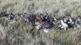 Hyenas vs Vultures - Masai Mara, Kenya