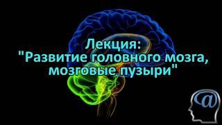 Развитие головного мозга (мозговые пузыри). Лекция