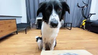 기다려 훈련 중 밥 달라고 침흘리는 강아지에요