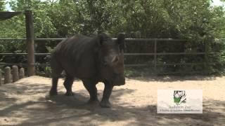 "Audubon Zoos White Rhino ""Bonnie"" B-Roll"
