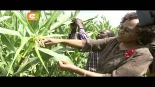 Zaidi ya ekari 3,000 zaharibiwa na viwavi Trans Nzoia