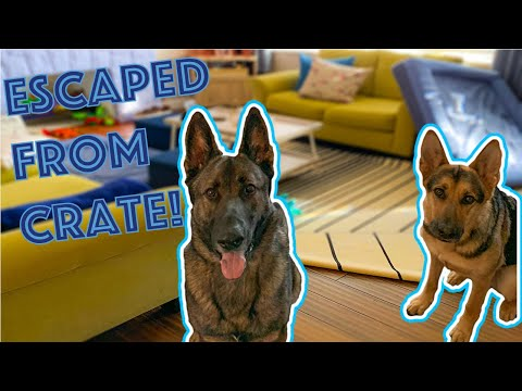 Left our German Shepherds out of their Crates; BAD IDEA!